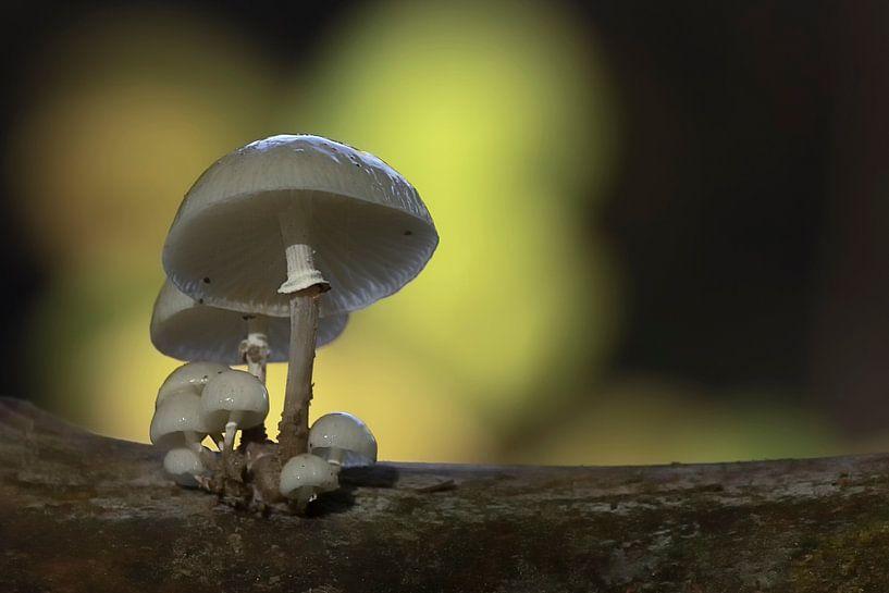 Herfst in het bos, porseleinzwammen op een beukenstam van Eric Wander