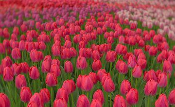 Tulpenwahn von Andy Luberti