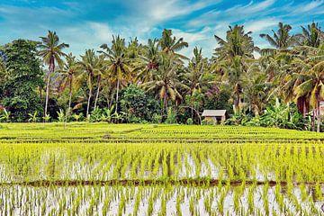 Kokosnusspalmen im Hintergrund von Sawahs von Eduard Lamping