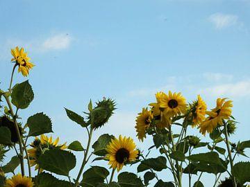 zonnebloemen in de lucht  von Pascal Engelbarts