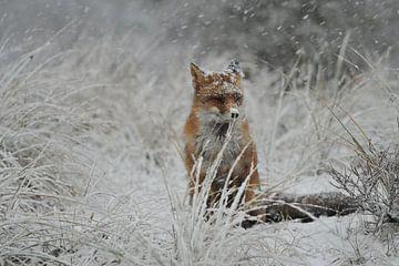 vos in de sneeuw van Bastiaan Willemsen