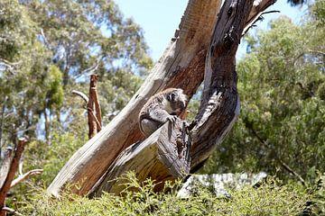 Süßes schlafendes Koalababy in Queensland, Australien, das in einem Eukalyptusbaum sitzt. von Tjeerd Kruse