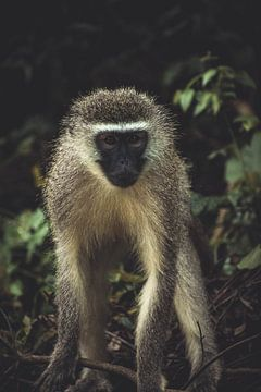 Aap in Nationaal park Kruger. van Niels Jaeqx