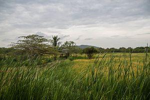 rijstveld, Sri Lanka. van Rony Coevoet