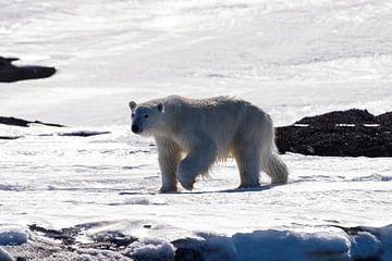 De krachtige ijsbeer van Merijn Loch