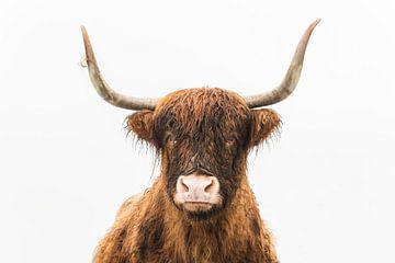 Portret van een eigenwijze Schotse hooglander die direct in de lens kijkt van Sjoerd van der Wal