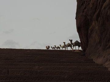 kameeltjes in Petra van