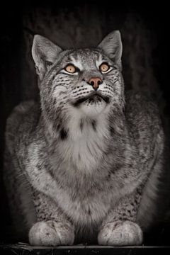 Schauen Sie nach dem schlauen grauhaarigen Raubtier Luchs von Michael Semenov