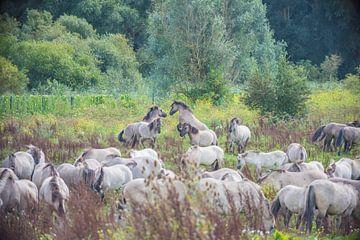 Konik paarden vechten van Ans Bastiaanssen