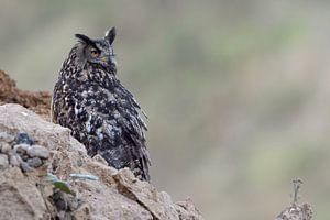 Eurasian Eagle Owl ( Bubo bubo ), wildlife