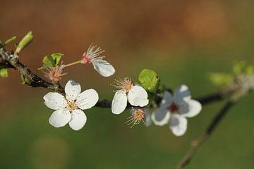 Japanische Kirsche von Francois Ruiter Photography