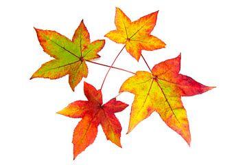Rot gelb orange Blätter im Herbst Saison auf weißem Hintergrund von Ben Schonewille