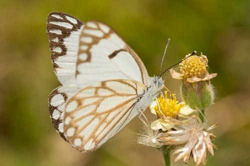 Vlinder ((Belenois aurota) op een bloem. van Jaco Visser