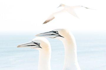 Northern gannet (Morus bassanus), Helgoland, Germany van Ed van Loon