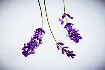 Lavendel van Andreas Gerhardt