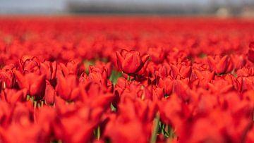 Rote Tulpen auf einem Blumenfeld in Flevoland (Niederlande) von Jessica Lokker