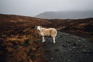 Schottland Schaf