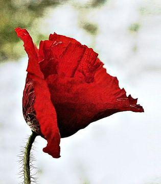 Simply red, Klaproos van Borgo San Bernardo