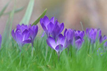 Frühling, Krokusse im Gras von Ad Jekel