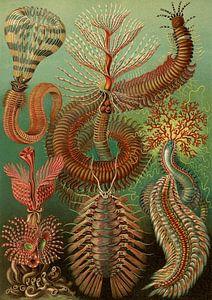 Ernst Haeckel, stekelige marine worm, chaetopoda or spined marine worms, Chaetopod, Borstenwarmer,