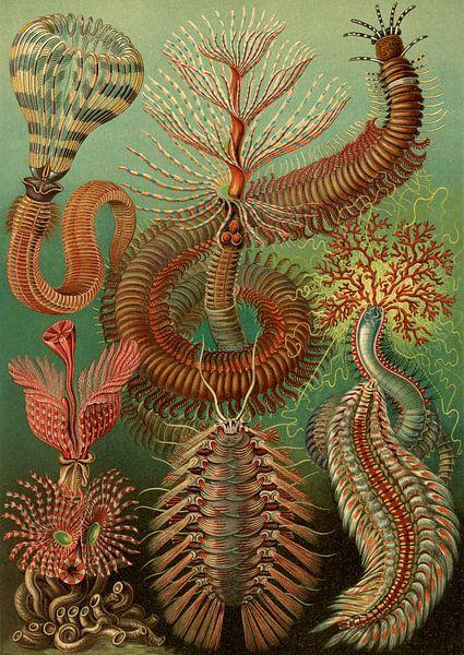 Ernst Haeckel, stekelige marine worm, chaetopoda or spined marine worms, Chaetopod, Borstenwarmer, van Liszt Collection