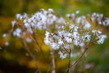 Uitgebloeide bloemen met pluis in de berm van Suzanne Schoepe