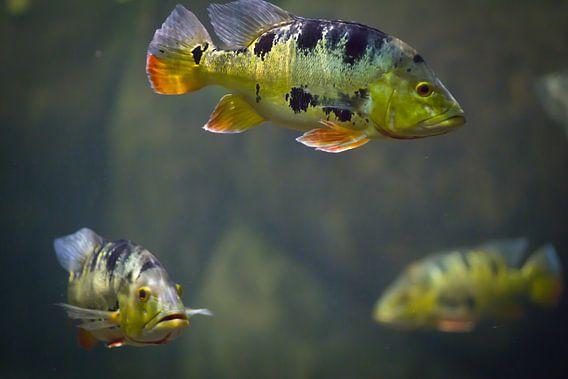 Vissen van Sybren Visser