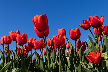 Rode tulpen tegen blauwe lucht van The All Seeing Eye