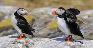 Papageitaucher auf den Farne-Inseln von Harry Eggens