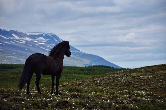 IJslands paard kijkt uit over zijn zomerveld