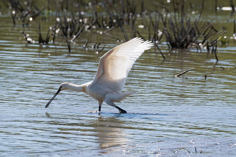 Der Spooner auf der Suche nach Nahrung von Merijn Loch