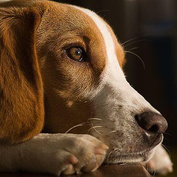 Beagle von Ed Wens