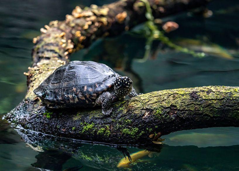Schildkröte auf Baumstamm von Van Keppel Studios