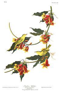 Mangrovezanger