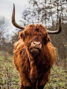Schotse Hooglander van Jessie Westphal