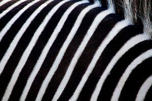 White and black stripes of a zebra.
