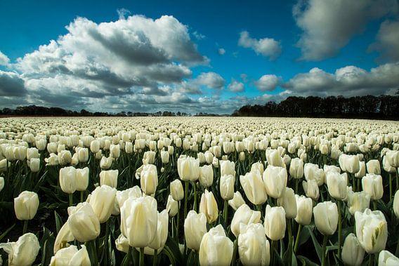Witte Tulpen van Gert Hilbink