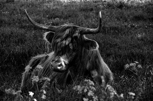Schotse Hooglander in de Broekpolder (Zwart-Wit)
