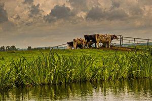 Kühe von nol ploegmakers