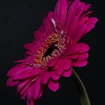 Gros plan d'une fleur rose (gerbera). sur GiPanini