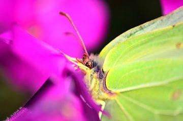 Een close up van een citroen vlinder van Jessica Berendsen