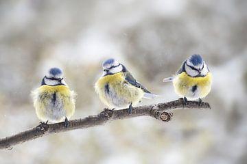 drie eurasische blauwe tieten (Cyanistes caeruleus) die samen op een tak in de wind zitten, de klein van Maren Winter