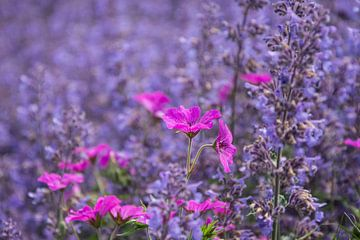 Rose in blauw ... de lente houd van jou. van