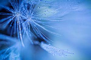 Dandelion fluff (bloem, pluis, paardebloem)