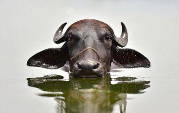 Coole afkoelende waterbuffel in de Ken rivier in India van Koen Hoekemeijer