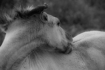 Wild Konikpaard in ochtendmist