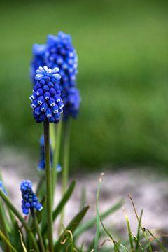 blauw druifje von Corine Harkes
