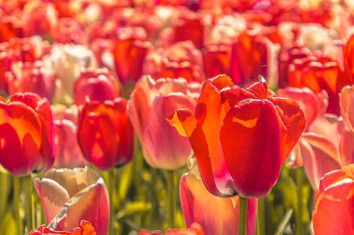 Prachtige gekleurde tulpen