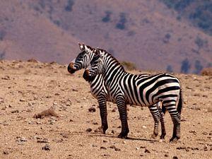 Zebra's Ngorongoro krater van