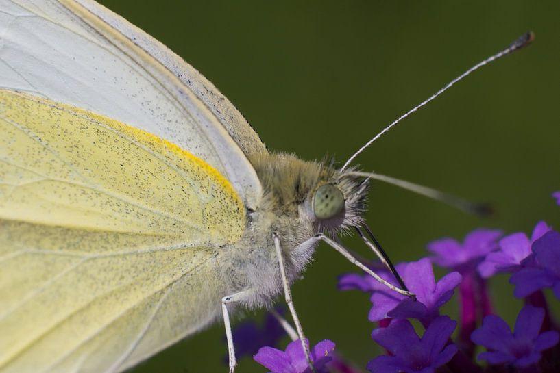 Vlinder close-up van Gerwin Hoogsteen